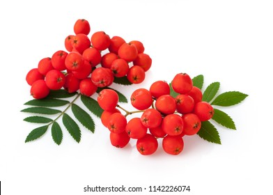 Rowan berries, Sorbus aucuparia. Close up detail of the red cluster of fruit isolated on white