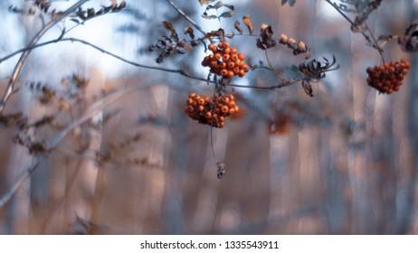 Rowan berry (Sorbus aucuparia)- red berries in winter