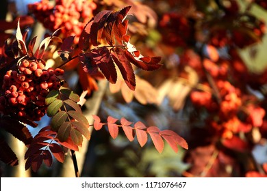 Rowan branch and berries. Golden colors of autumn. Russia