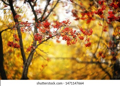 rowan branches in autumn on a blurry yellow background