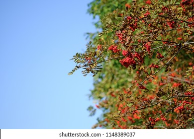 Rowan branches covered with beautiful red berries against the blue sky. Sorbus aucuparia L.  Empty space for text.
