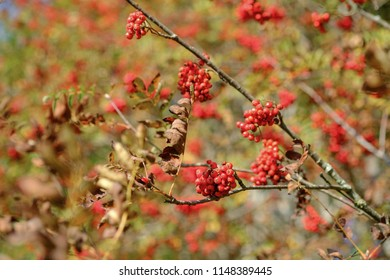 Rowan branches covered with beautiful red berries. Rowan berries ripen on the tree. Sorbus aucuparia L.