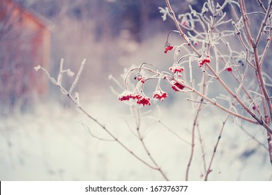 rowan branches covered with hoarfrost