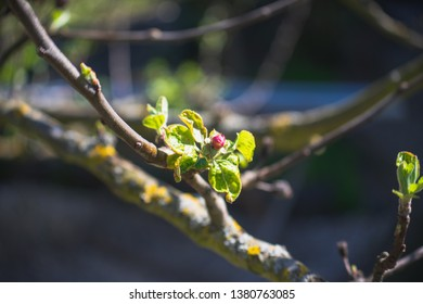 Rowan Bud at Spring