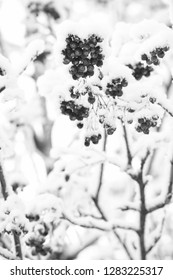 Rowan bunches on snowy tree. Red berries covered with snow. Ashberry in winter on natural background. Christmas or new year concept. Winter, nature, plant, snowfall, frost.