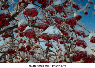 Rowan is covered with an icy corco after the icy rain. pre-rolled time, blue sky, white snow. After the thaw, the ash berries will become a favorite delicacy of birds after a long winter fast
