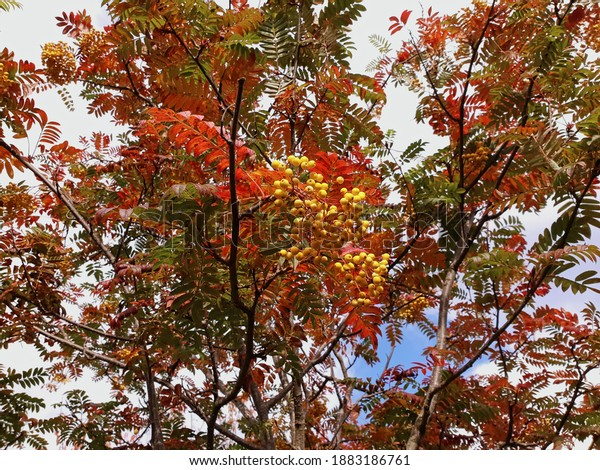 Rowan (Mountain Ash) tree with yellow berries and partially red leaves. View from below. Autumn sunny day.