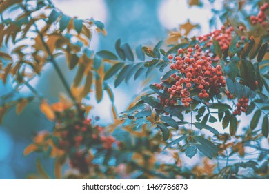 Rowan on the branch against blue sky. Red rowan tree. Nature background. Autumn concept.
