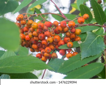 Rowan (Sorbus aucuparia) is a species of deciduous tree or shrub in the rose family.