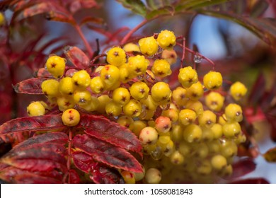 Rowan tree with berries, Mountain Ash tree with fruit.