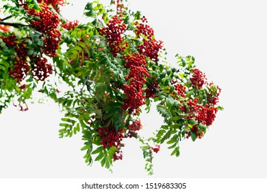 Rowan Tree. Branches of Mountain Ash, Beautiful Tree with Ripe Berries Against Clear Sky Background