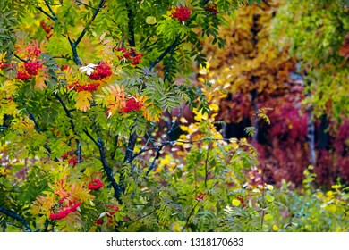 Rowan tree in forest, autumn colors in Finland.