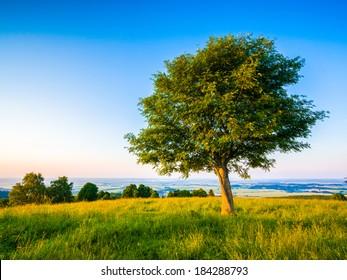 Rowan tree in landscape