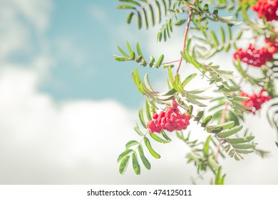 Rowan tree in the late summer.Rowan berry. Floral wallpapers.