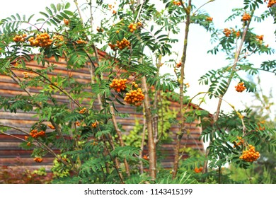 Rowan tree with orange fruits in a garden in front of a wooden wall, Bavaria