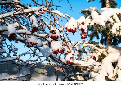Rowan tree with red berries in a winter village