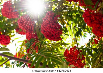 Rowan tree. Ripe red fruits of mountain ash in the sun, soft focus