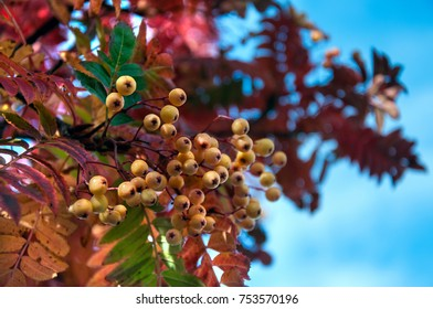 Rowan tree or sorbus with yellow berries in autumn