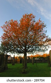 Rowan tree,That was  captured in the early evening in a graveyard in Dunblane, Scotland.