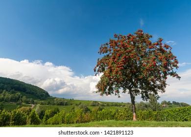 Rowanberry, rowan ash, rowanberry tree (Sorbus aucuparia) with red berries,