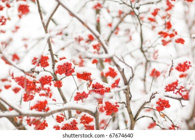 Rowan-berry in snow on white background - shallow DOF