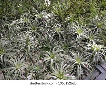 Rows of air plants (Tillandsia) lying flat on a wire mesh surface