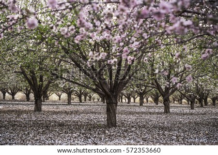 rows almond trees blooming pink white stock photo edit now