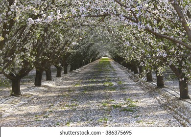 rows of almond trees blooming white and pink flowers with petals covering the ground appearing like snow, view through tunnel between rows of trees