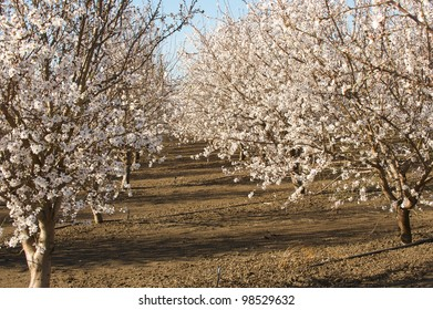 Rows of almond trees in full bloom
