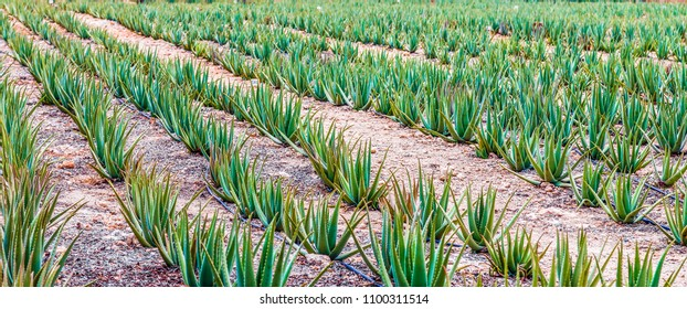 Rows of Aloe Vera Plants in Aruba