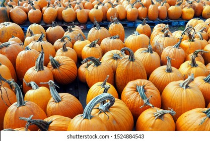 Rows of beautiful large orange pumpkins (freshly harvested) on display at a farm shop. Widescreen.