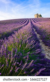 Rows of a beautiful purple lavender filed in Valensole. Provence, France