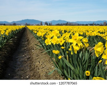 Rows of blooming daffodils on the fields in Skagit valley - Washington state, USA