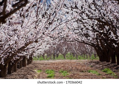 Rows of blooming fruit trees on Orchard Mesa near Palisade, Colorado