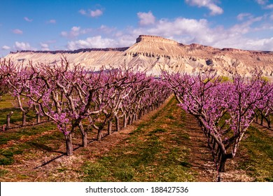 Rows of blooming peach trees in peach orchard in full spring bloom