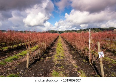 Rows of Blueberry fields with new shoots Washington state.