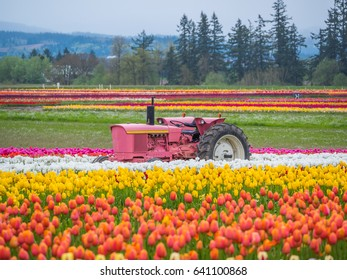 Rows of bright tulips in a field. Beautiful tulips in the spring. Variety of spring flowers blooming on fields. Wooden Shoe Tulip Festival in Oregon, USA