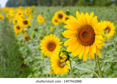 rows of brightly sunflowers on the field