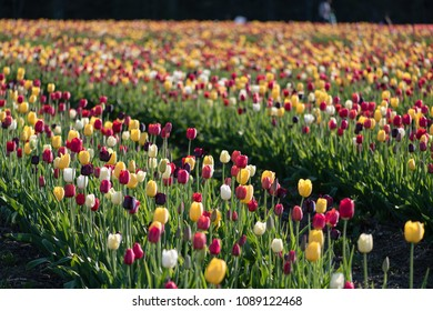 Rows of brightly-colored tulips at a tulip farm.
