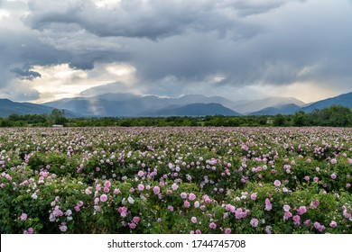 Rows of Bulgarian pink rose in a garden during sunset located in the Thracian Rose valley. Amazing colors.