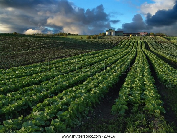 Rows of cabbage leading up a small hill to a farm