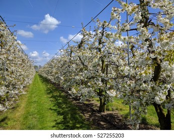 rows of cherry blossom trees in cherry orchard