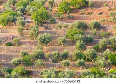 Rows of citrus fruit trees grown for agriculture among multiple levels of stone walls in Deia, Mallorca in Spain.