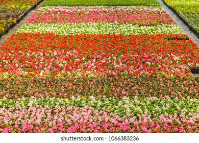 Rows of colorful blooming violas in a Dutch greenhouse