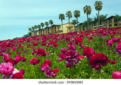 Rows of colorful flowers grow on a hillside in Carlsbad, California.