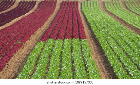 Rows of colorful rainbow of agricultural fields of crops (lettuce plants), including green, red, purple varieties