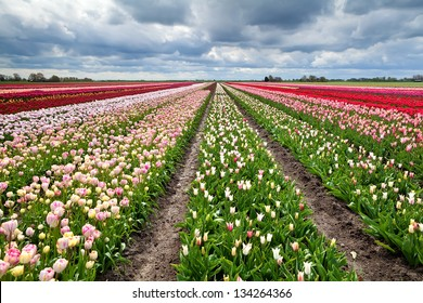 rows of colorful tulip flowers in spring,  Holland