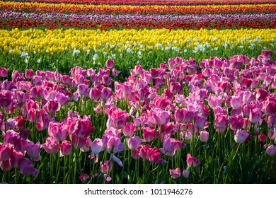 Rows of colorful tulips growing in a flower farm in Oregon