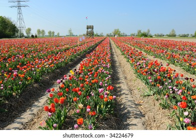 rows with colorful tulips as typical agriculture in Holland