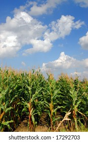 Rows of corn in the farmland, almost ready to harvest in early autumn with blue sky background